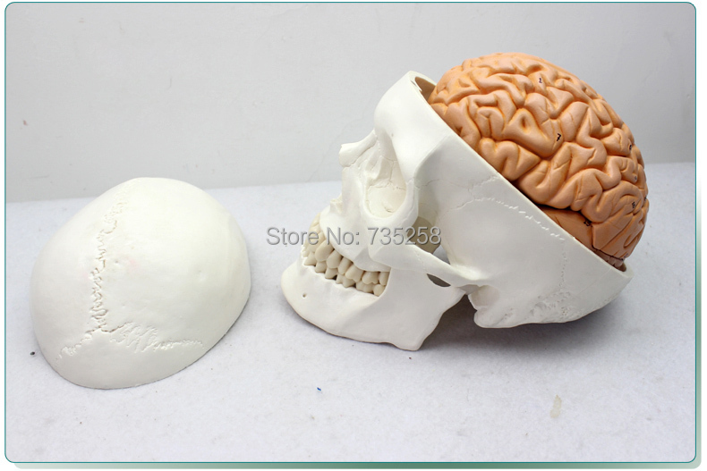 Human Skull Brain Model With Eight Parts,Senior Skull Brain Model,Skull Brain Combination Model 1 6 yosd bjd sd doll accessories bjd clothes overalls