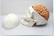Human Skull Brain Model With Eight Parts,Senior Skull Brain Model,Skull Brain Combination Model