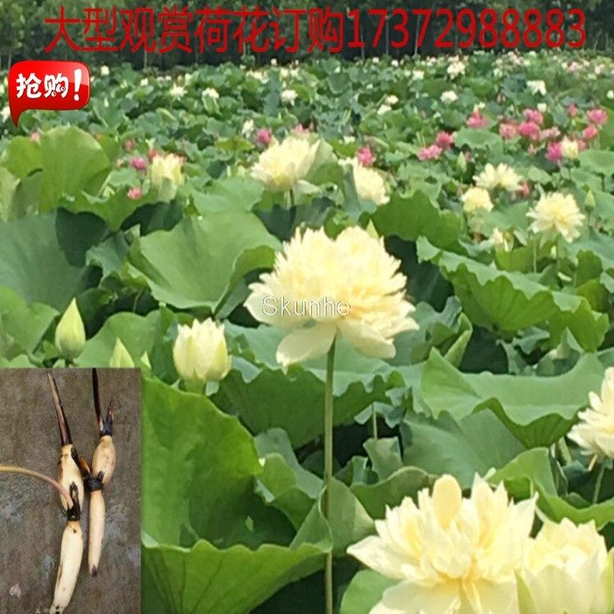 Potted Lotus Bonsai Roots Lotus Lotus Root Bonsailing Lotus