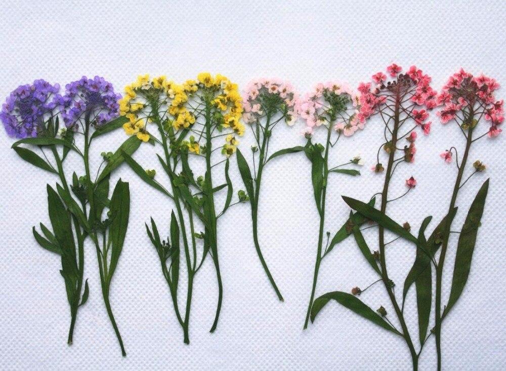 250pcs Pressed Dried Lobularia Maritima Flower Dry Plants