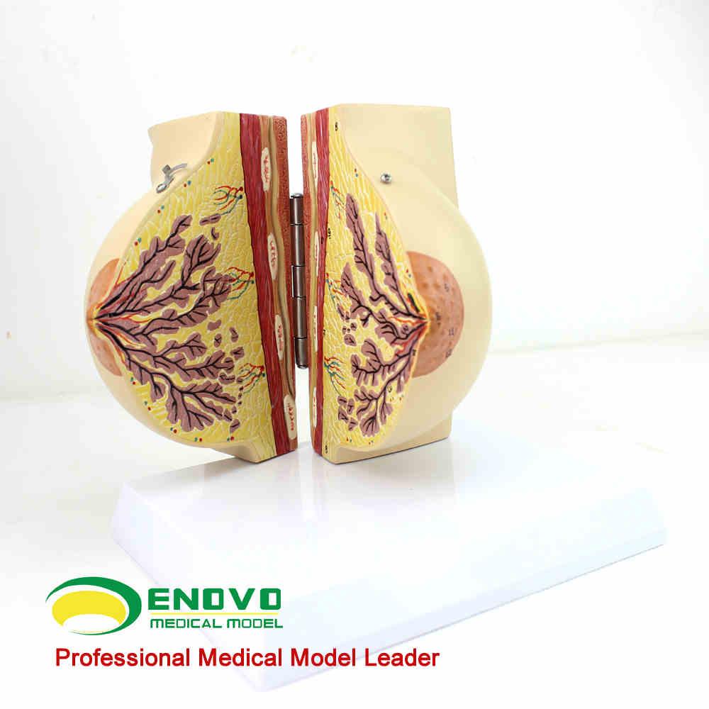 Médicos femenino fase estacionaria mama modelo anatomía del pecho ...