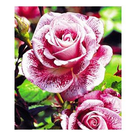 ᑐkelangkaan Putih Dengan Pola Mawar Merah Benih Biji Bunga Langka