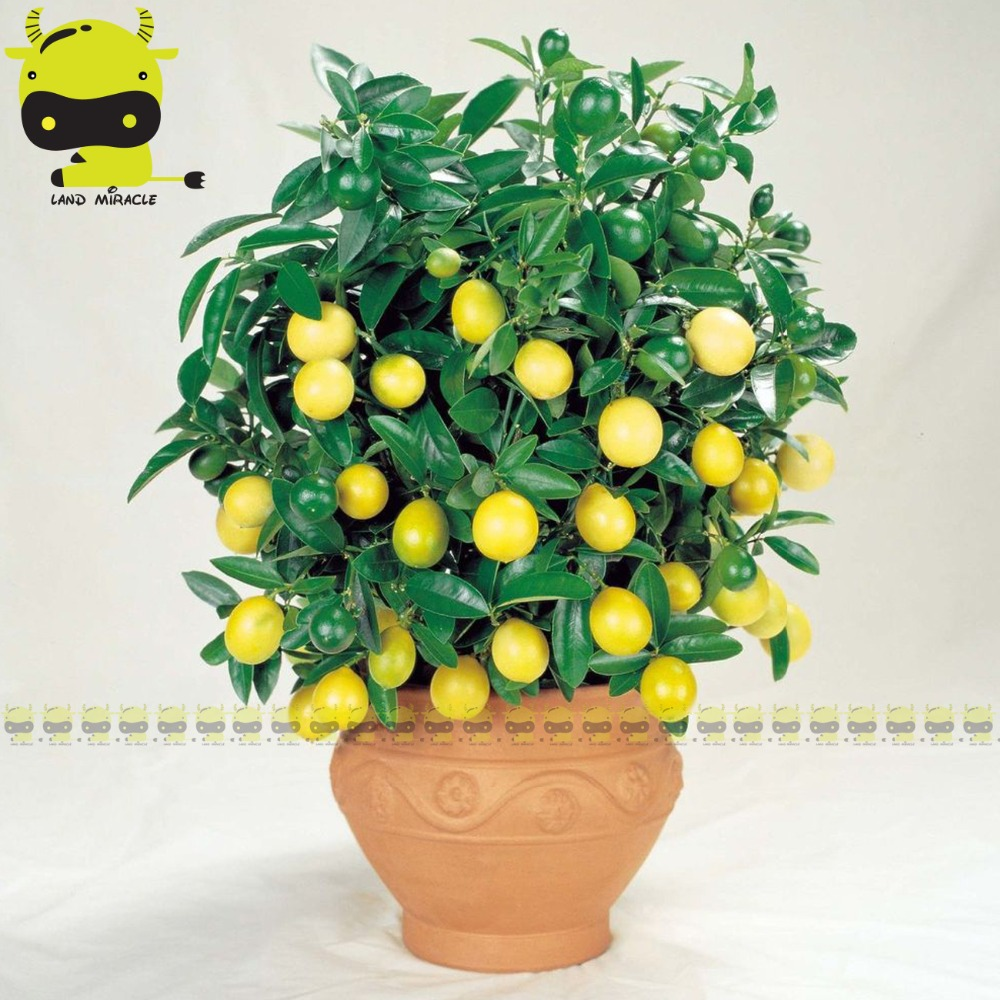 100% True Little Tangerine Orange Tree Bonsai Seed, 10 Seeds/Pack, Organic Fruit Tree Plants