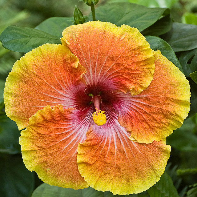 Héritage 100 Hibiscus bonsaï Fleur de Grandes Fleurs Hardy bricolage ...