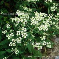 Herb plant authentic Patrinia plant Thlaspi plant trees flutter shocked GuZi Su Patrinia bonsai 200g / Pack