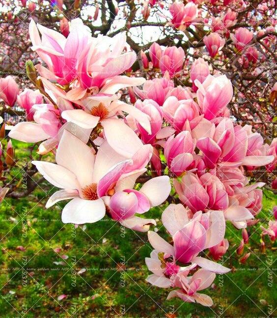10 шт. Магнолия бонсаи, Ароматный сад дерево, Магнолия Цветы для домашний сад DIY декоративных растений