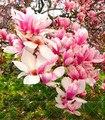 10 piezas Magnolia bonsai luz fragante jardín árbol de Magnolia flores para la casa jardín de plantas ornamentales