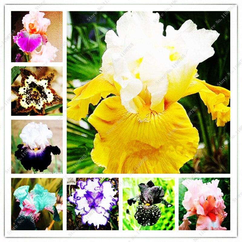 Bonsai 100 pezzi luce mista Fiore iris trasferimento fiori bonsai da fiori barbuto Iris natura facile coltivazione piante Fiore orchidea Fai da te per ...