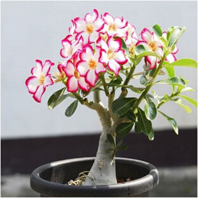fd658cf44 Desert Rose plants Flower plants Adenium Obesum Office Indoor Bonsai Plant  Mini Potted Tree Home Garden 1 Particles   Lot