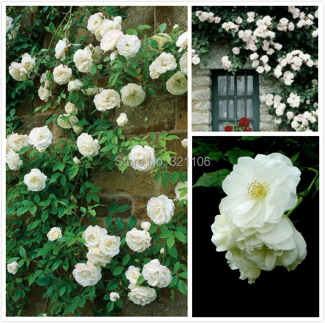 100 White Climbing Roses Seeds Purefragrant Impressive Diy Home