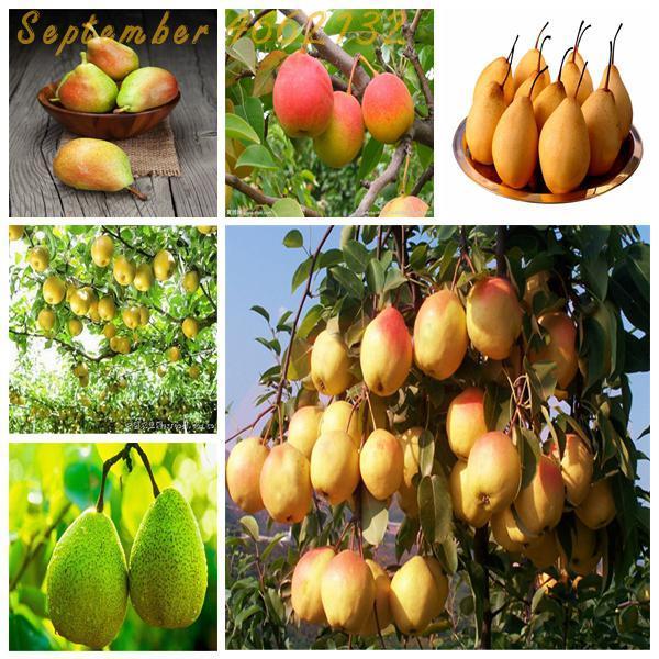 Большой promotion20PCS красная груша (Pyrus communis) Редкие Плодовое дерево натуральные фрукты в бонсай. Супер сладкие фрукты ароматная груша диадема