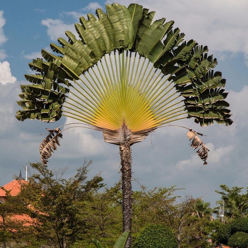 100pcs Ravenala madagascariensis Travelers Palm Seeds ...