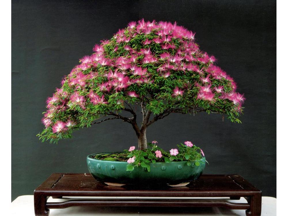 plantas en macetas de flores envo libre bonsai unidades albizia semillas de