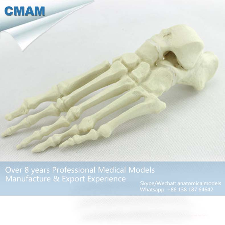 CMAM-TF12 Human Ankle Fused Foot Orthopaedic Drilling Model,  Medical Science Educational Teaching Anatomical Models ed joint01 life size human foot ankle bone skeleton joint model medical science educational teaching anatomical models