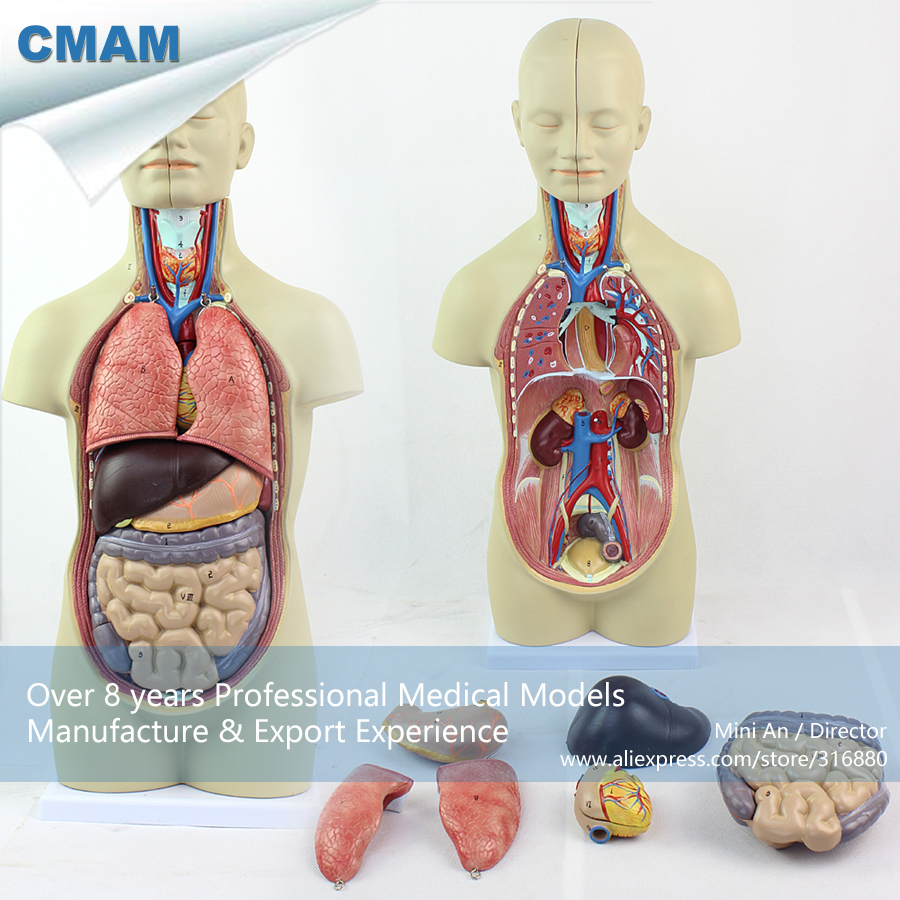 Torso Organ Anatomy Image collections - human body anatomy