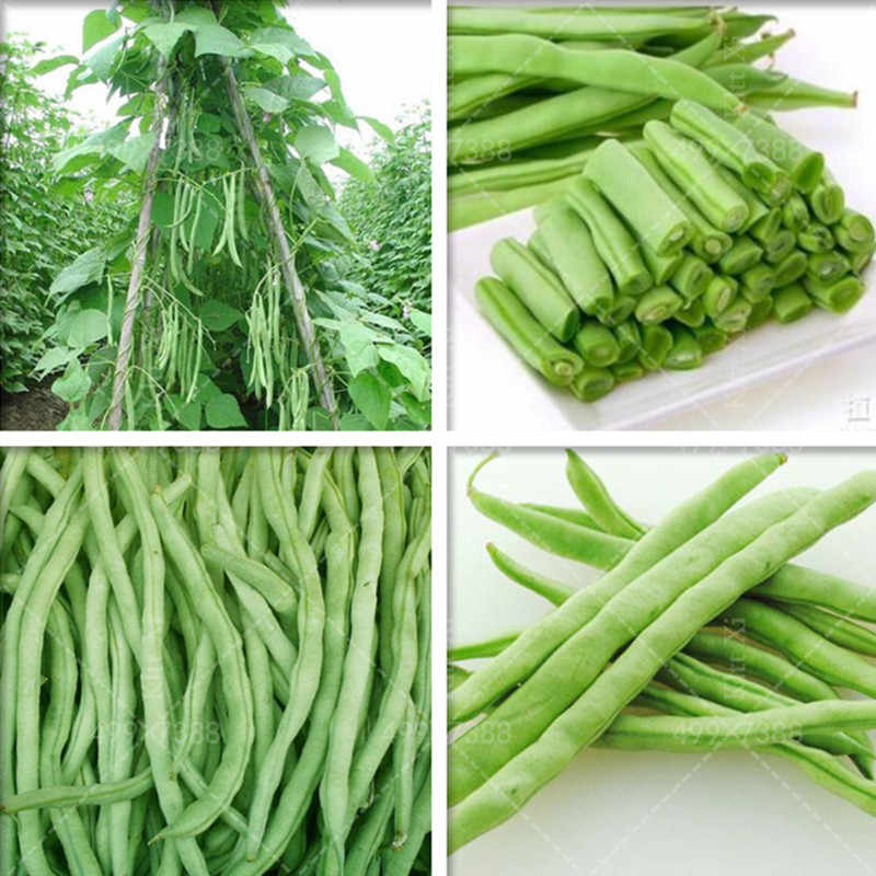 20 pcs Four seasons Safflower green beans plants Potted Bonsai Balcony fruit Vegetable plants for DIY home & garden,Easy to grow