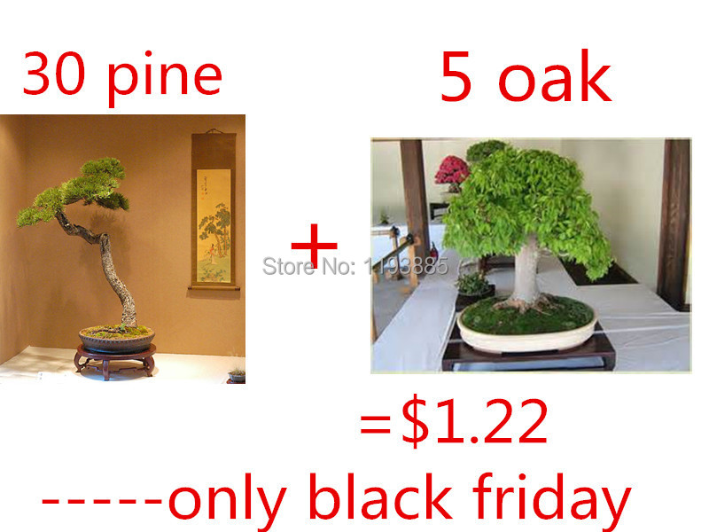 $1.22 get 30 japanese bonsai pine tree seeds and 5 rare oak bonsai seeds only on black friday