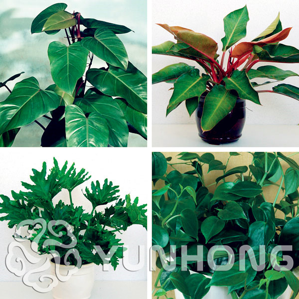 20pcs//bag Philodendron Erubescens Seeds