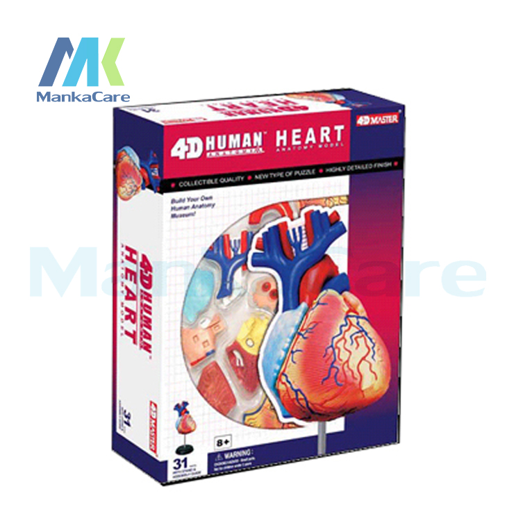 4D master model colored heart assembled Human Anatomy dimensional Human HEART LIFE-SIZE MODELdissection skull brain anatomical