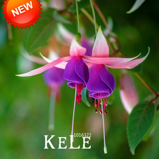 Aliexpress buy new 2018pink purple bell flowers fuchsia pink purple bell flowers fuchsia bonsai potted flower garden plants hanging fuchsia flowers mightylinksfo
