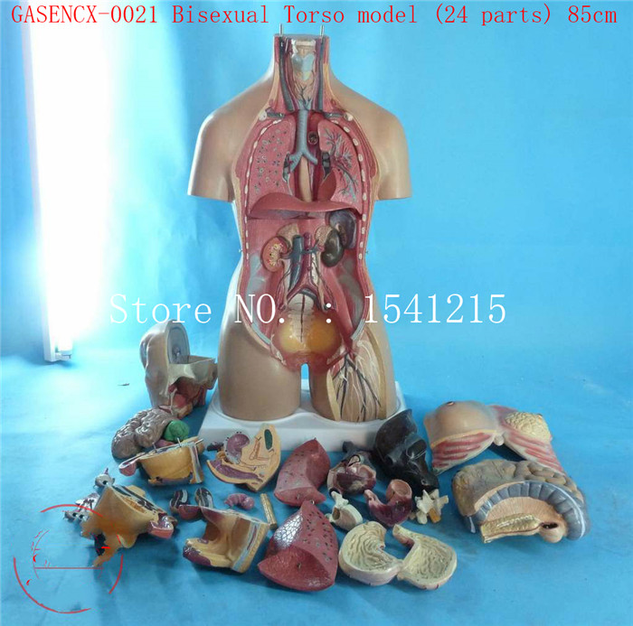Modèle de torse d'anatomie humaine enseignement modèle médical modèle de torse bisexuel (24 parties) 85cm-GASENCX-0021