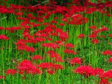 2016 new, rare flower garden Red Spider Lily seeds, 95% survival rate, 10 / pcs