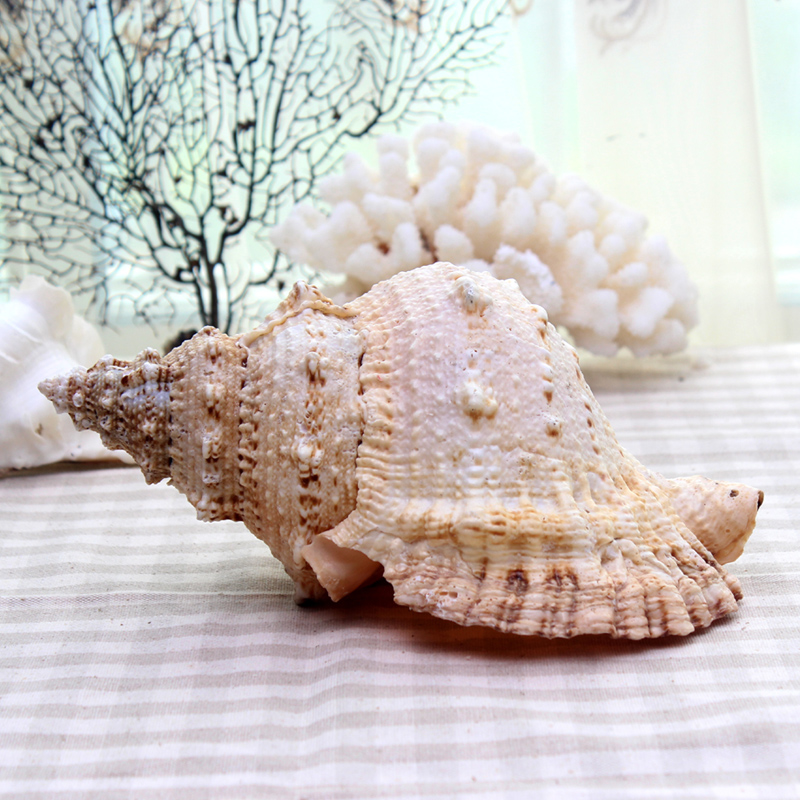10 27cm natural tutufa rubeta large 1pc seashell nautical