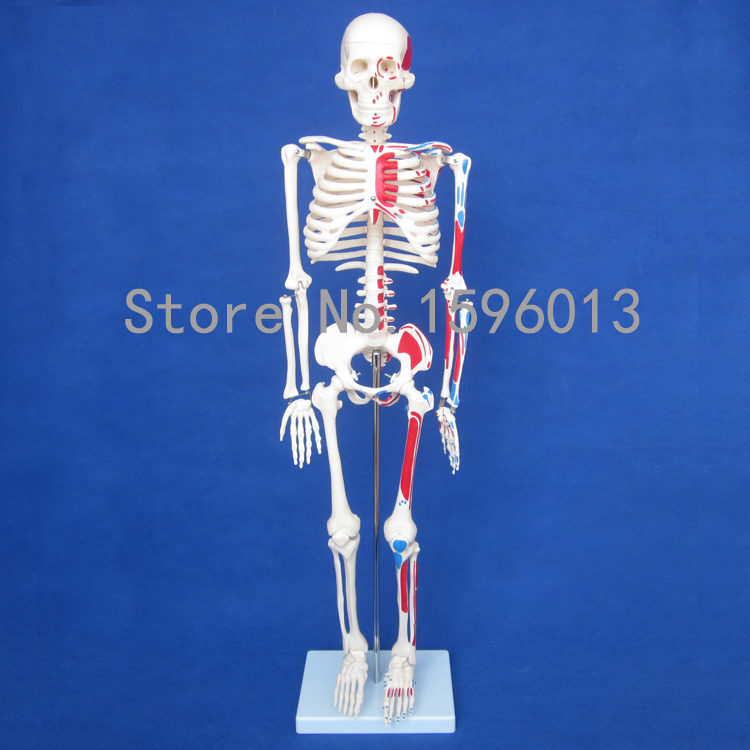 HOT Human 85cm Skeleton with Painted Muscles model, Human Skeleton Model bix a1005 human skeleton model with heart and vessels model 85cm wbw394