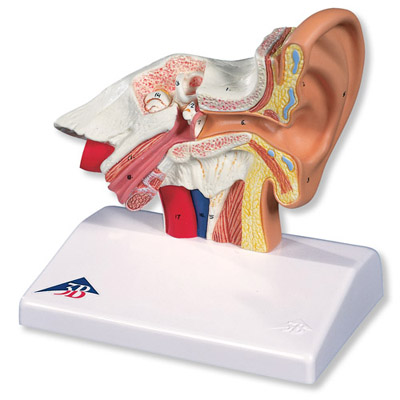 34x16x19cm 1.55kg Amplified Ear Model Real 3 Times 6 Auditory Balance Nerves In The Inner Ear Anatomical Magnification Model Preventing Hairs From Graying And Helpful To Retain Complexion