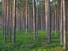 paulownia elongata New forest tree seeds,100seeds/pack fast growing tree