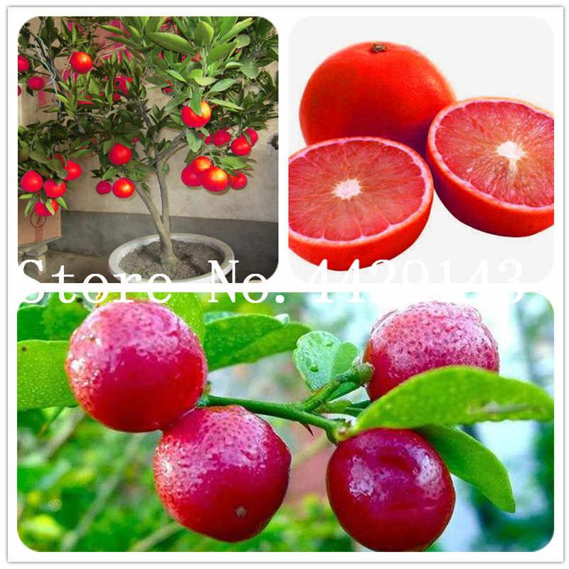 20 قطعة/الحقيبة الكفير الجير النباتات الجير النباتات (الحمضيات Aurantifolia) النباتات العضوية الفاكهة بونساي الفاكهة الليمون شجرة لحديقة المنزل