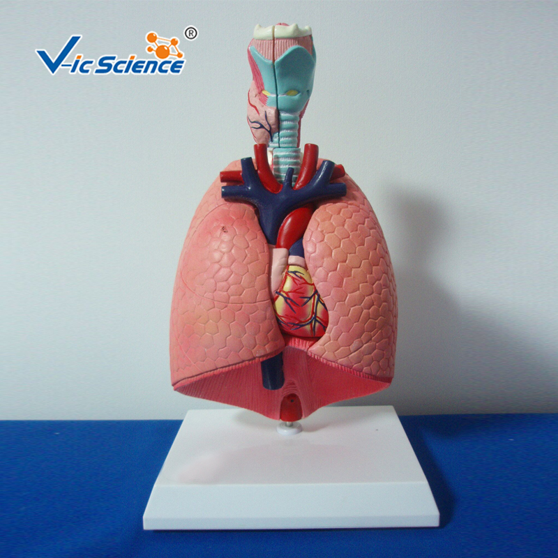 Advanced PVC Desktop Anatomical Respiratory System Human Larynx Heart And Lung Educational model for Teaching Students Advanced PVC Desktop Anatomical Respiratory System Human Larynx Heart And Lung Educational model for Teaching Students