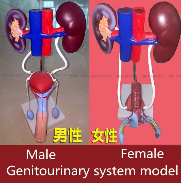 Medical Genitourinary System Model Female Male Medical Man Women