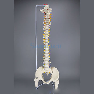 85CM Human Anatomical Model Spinal Column Flexible Spinal Column With Leg Bones Medical Teaching rovertime rovertime rtm 85
