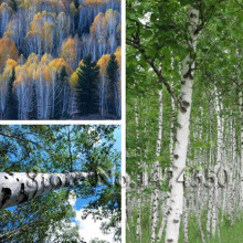 Silver White Betula Betulaceae Hardwood Birch Tree Seeds 30pcs
