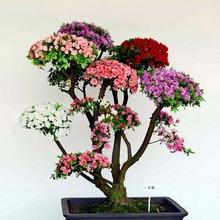 20 Pcs/bag Rare Bonsai 12 Varieties Azalea Seeds DIY Home & Garden Plants Looks Like Sakura Japanese Cherry Blooms Flower Seeds