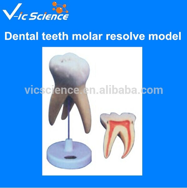 Medical science subject and dental teeth mode molar resolve model molar model with 3 root molar teeth model
