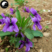 Buy Sweet Violet Seeds 100pcs Plant Herba Violae Grow Philippine Violet Zi Hua Di Ding