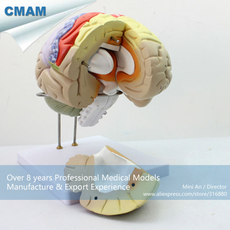 12406 CMAM-BRAIN08 Advanced Medical Usage 2X Life-size Brain  Anatomical Model in 4 Part, Anatomy Models > Brain Models 12461 cmam anatomy23 breast cancer cross section training manikin model medical science educational teaching anatomical models