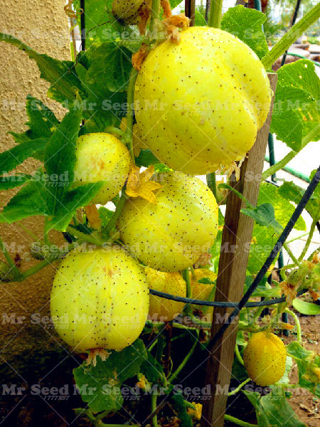 50PCS Lemon Cucumber Plant Rare Vegetable Plant For Home ...