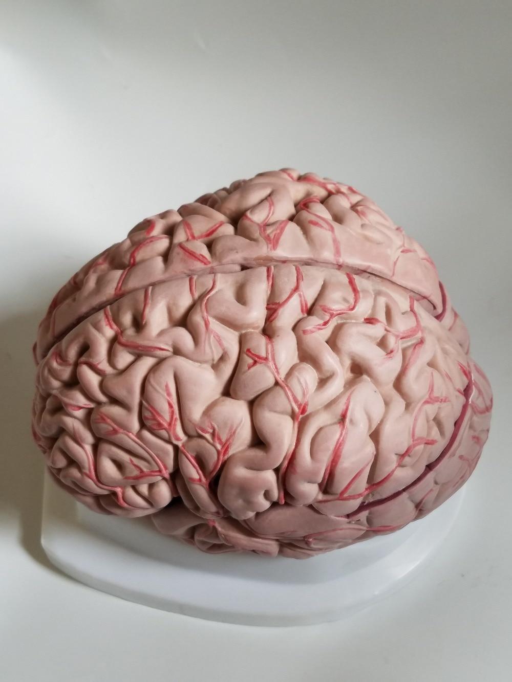 Human Brain Model Cerebrovascular Model 8 Parts Brain Anatomy Model Medical Science Teaching Model Educational Supplies