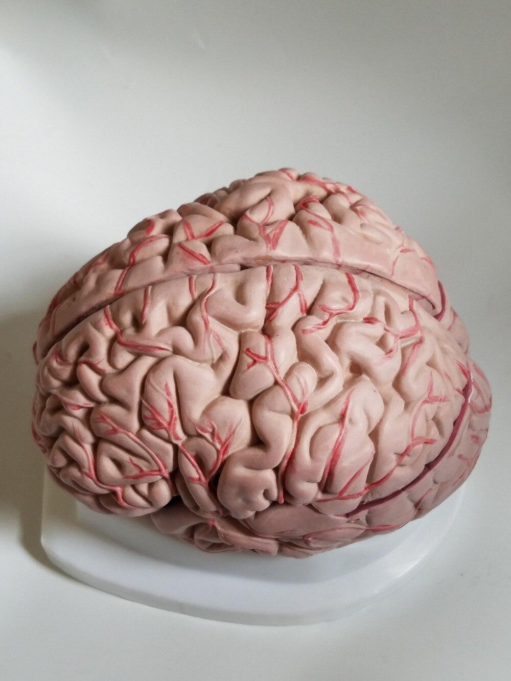 Modèle de cerveau humain modèle cérébrovasculaire 8 parties modèle d'anatomie du cerveau modèle d'enseignement des sciences médicales fournitures éducatives