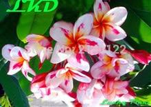 7-15inch Rooted Plumeria Rubra Plant Thailand Rare Real Frangipani Plants no146-madamponi-hybrid-3