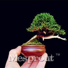 50 PCS Mini Juniper Bonsai Tree Potted Flowers Office Bonsai Purify The Air Absorb Harmful Gases Juniper plant Free Shipping