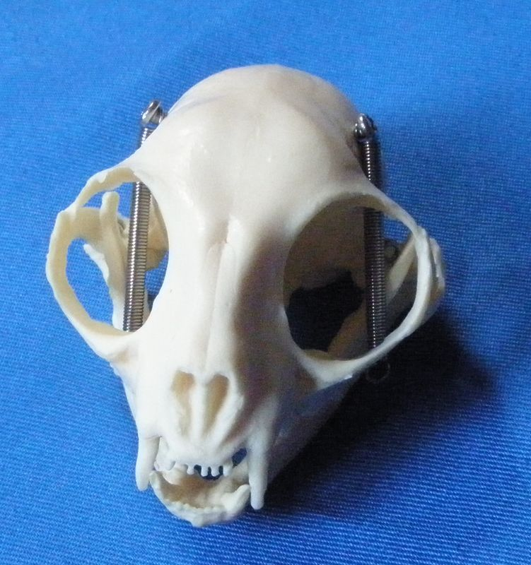 Cat Head Bone Skull Skeleton Model Cat Skull Anatomical Model