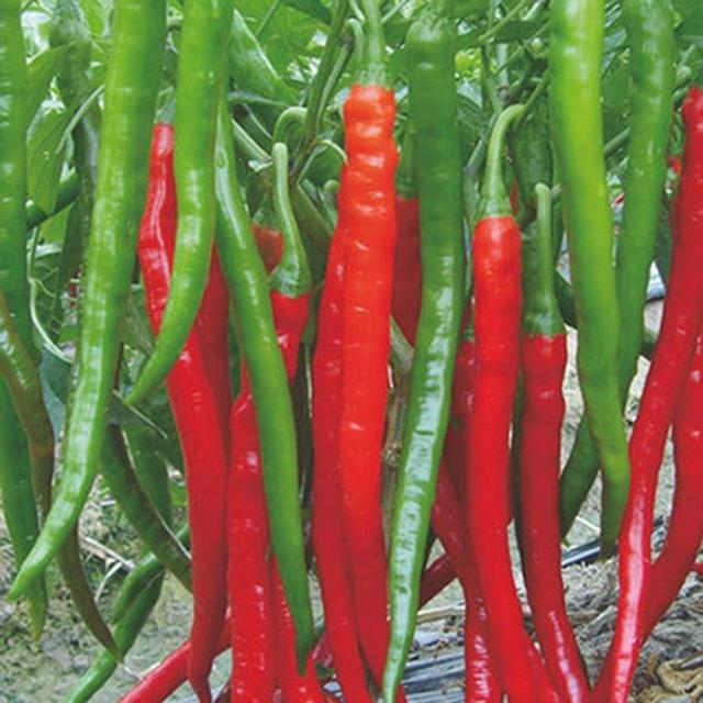 Red Long Chili Seeds, 100pcs/pack