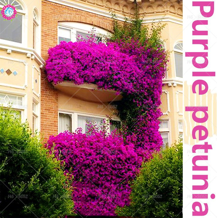 100% True Hanging Purple Petunia Flower Seed, Fragrant Garden Ornamental Flowers,perennial flower seeds for home garden 200pcs
