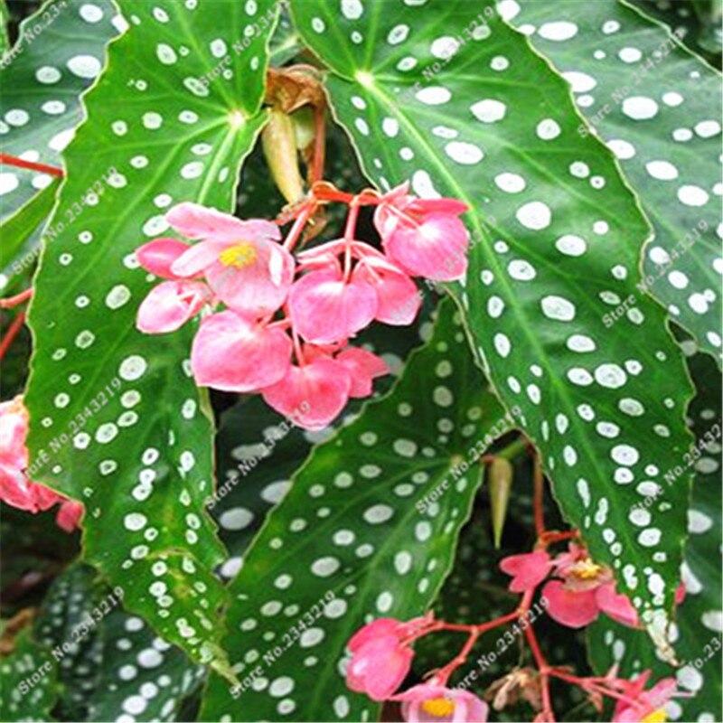 Begonia Seeds,100 pcs Malus Spectabilis Potted Seeds, Rare Flower Pot Begonia Seeds for Home Garden Sementes De Flores Raras