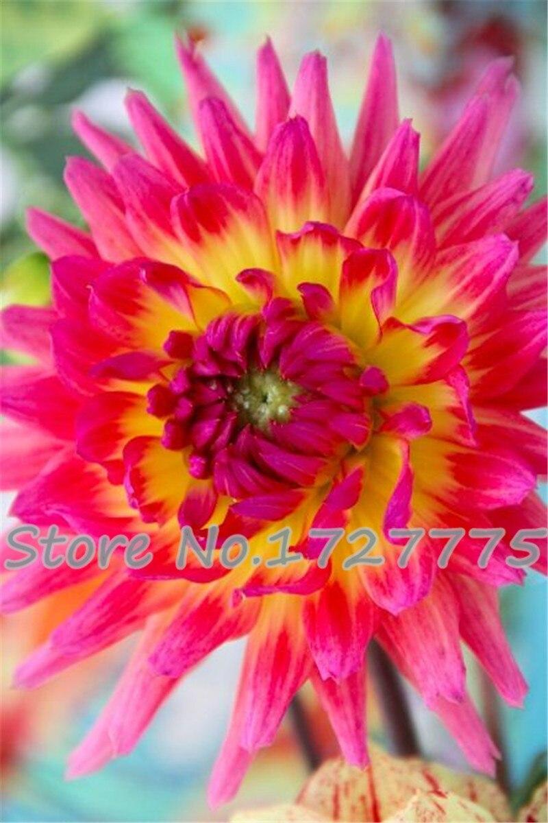 100bag Dahliadahlia Flower Mixed Colors Dahlias Bonsai For Diy