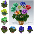 Multi Color 100 unids Mini Bonsai Semillas Perennes Semillas de Flores de Geranio Pelargonium Peltatum Olla Jardín De Flores de Plantas Semillas